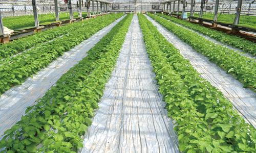 ビニールマルチ栽培